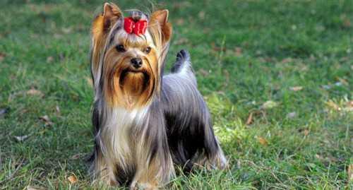 порода собаки из фильма хатико: самый верный друг